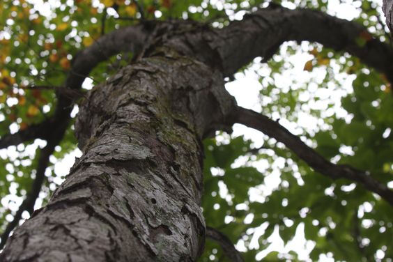 Betula schmidtii(The material of the product)