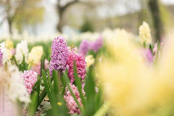 sweet hyacinth | Flickr