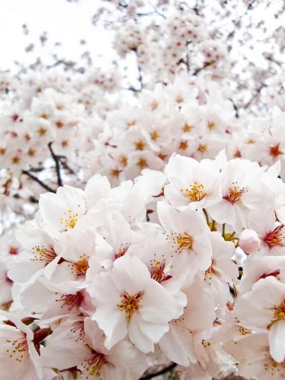 Cherry blossoms.would.make a gorgeous fabric