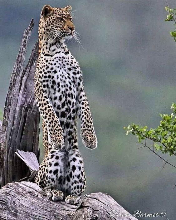 Here we see a wild meer-cat? #wildlife #wildcat