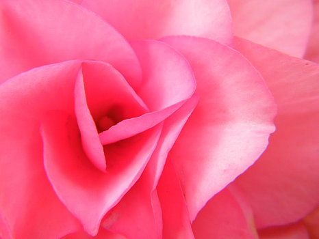 Sensual Pink Petals Open for You by Mary Sedivy