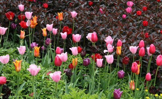 Tulpen Und Stauden Geschickt Kombiniert Tulpen Garten Stauden Tulpen