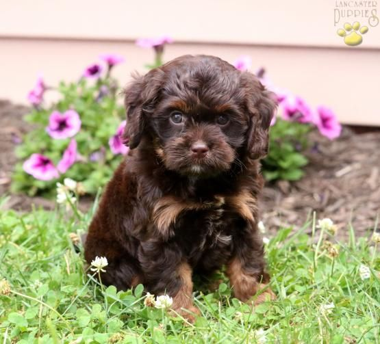 Xora Poodle Mix Puppy For Sale In Narvon Pa Lancaster