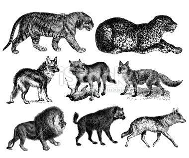 Predators' Illustrations - Tiger, Lion, Wolf, Fox, Hyena, Leopard, Coyote Lizenzfreies Foto
