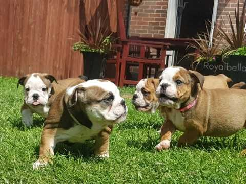 English Bulldog Puppies Triple Carriers Bulldog Puppies
