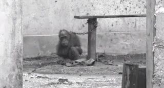 """""""O Grito do Bicho"""": Orangotango Jimmy viveu 9 anos acorrentado"""