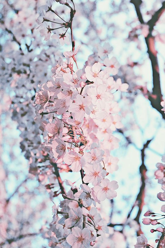 Floral Flowers Wallpapers Iphone Android Spring Photography Nature Photography Blossom Trees Coolest flower tree wallpaper images