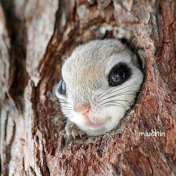 Hotels-live.com/cartes-virtuelles #MGWV #F4F #RT Follow @WildlifePlanet for more amazing animals photos! @WildlifePlanet Japanese flying squirrel in Japan l Photography by  @Miuchin0412 by earthofficial https://instagram.com/p/99EpBnN0a7/