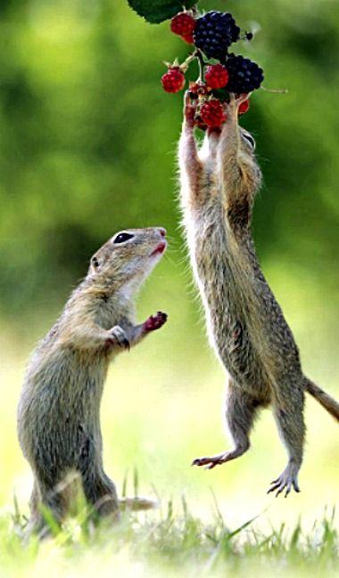 Berry-loving Ground Squirrels