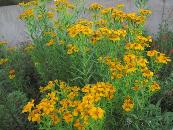Mexican Mint Marigold (Tagetes lucida) | Deer resistant ... Marigold Plant With Roots