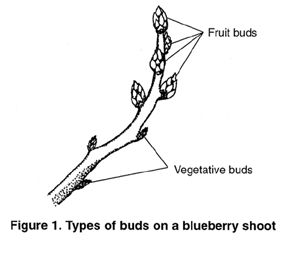 393572454905778781 together with Pruning likewise Pruning Tips together with  on blueberry tree types