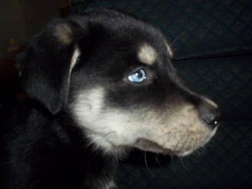 Goberian puppy!(Golden retriever & siberian husky mix)