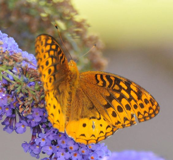 ✯ Great Spangled Fritillary Butterfly