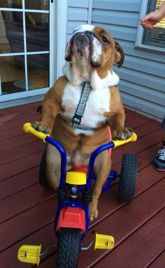 ❤ Looking for a biker-dude .... here is your heart throb!! And look at that face ---- he is so very proud! ❤ #English #Bulldog: