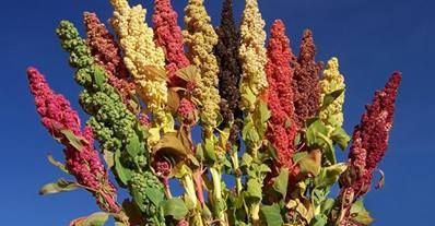 Quinoa - a wonderful cereal which grows above 3,000 meters http://www.peruinsideout.com/wp/
