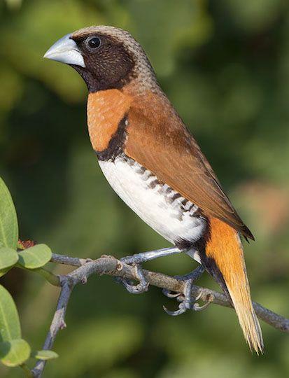 Chestnut-breasted Mannikin - Australia