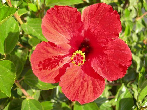 hibiscus simple