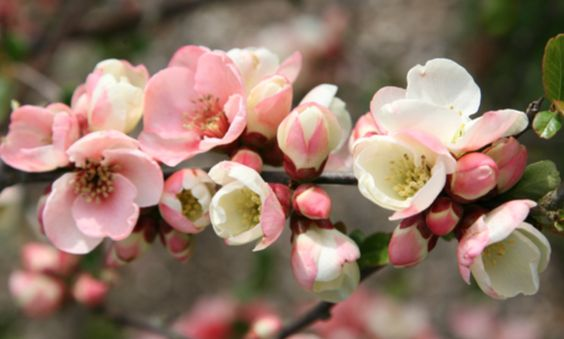 03.28.15* | Beautiful quince blossoms from the blog of Maxit Flower Design | Houston, TX
