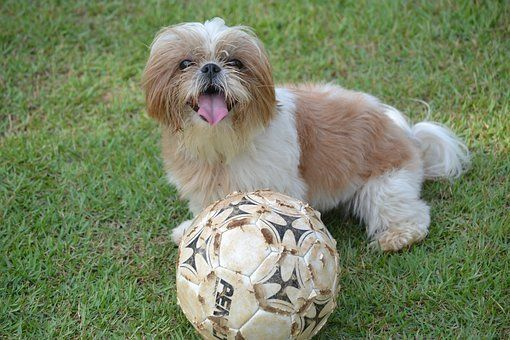 Puppies For Sale In Pennsylvania Pa In 2020 Shih Tzu Puppy