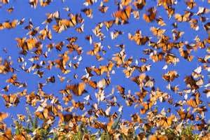 Monarch Migration – Staggering Spectacle of Nature ~ The Ark In ...