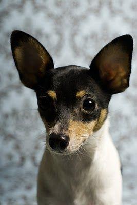 Toy Fox Terrier http://www.animalplanet.com/breed-selector/dog-breeds/toy/toy-fox-terrier.html?_ga=1.6031155.1621846164.1392649330