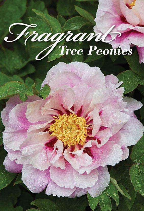 Fragrant Tree Peonies With Images Tree Peony Peonies Garden