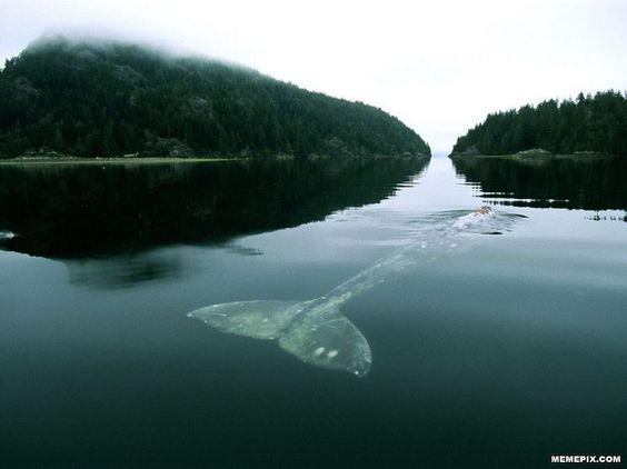 Grey Whale in Grice Bay - MemePix
