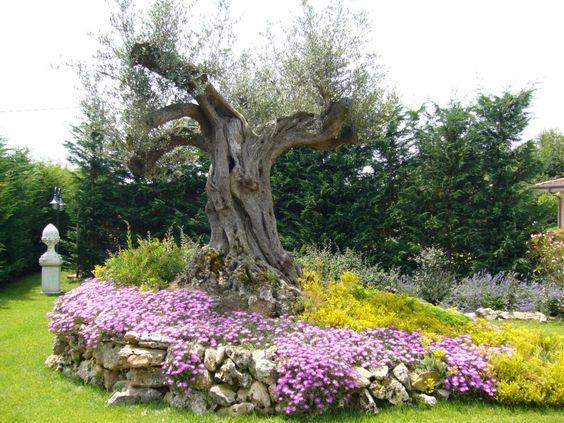 Aiuola con ulivo e fiori garden il giardino che vorrei - Giardino con ulivo ...
