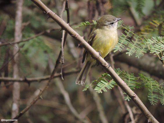 Piolhinho (Phyllomyias fasciatus). Foto feita no Horto Florestal de São Paulo/SP em Junho/14.
