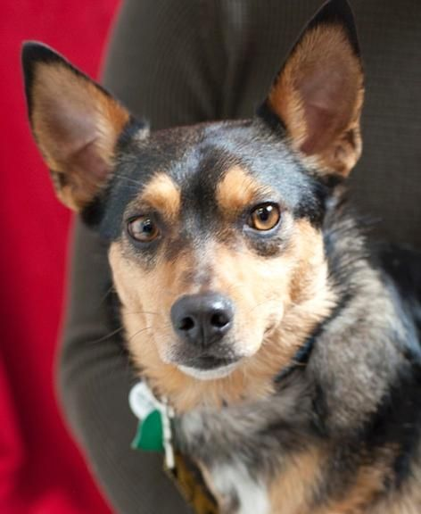 Meet Bentley, a Petfinder adoptable Terrier Dog | Issaquah, WA | * Male Terrier mix* Approximately 2 years old* Approximately 15 pounds* House trained* Crate...