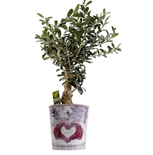 Luxury Christmas Plant Olive Thick Stem Gift - Potted plant with Christmas Pot Cover -Delivery in first week of December or Before - A stunning gift that will last for more than just Christmas - Ideal alternative to Christmas Cards - Create the perfect gift combination - Variety of Christmas Pot Cover options - Gift wrap available. (Love Heart) Best4garden http://www.amazon.co.uk/dp/B0182GWZNS/ref=cm_sw_r_pi_dp_mi6swb0SGT43Q