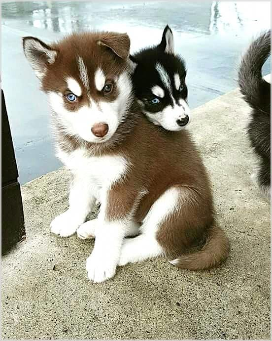 Pin By Cindy Lewanski On Huskies Cute Husky Puppies Husky Puppy