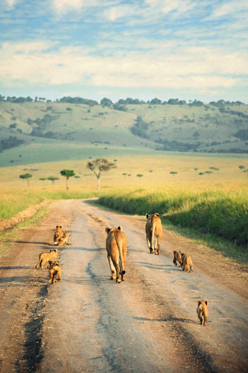 Hopefully we will see this.  Family of Lions at the Masai Mara National Reserve in Kenya.