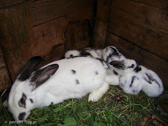 łatka i małe króliczki