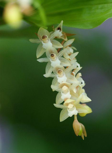 フォリドタ・キネンシス/Pholidota chinensis