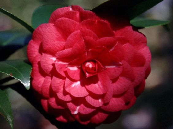 Camellia japonica 'Il Gioiello' (Italy, c.1867)