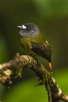Ornate flycatcher (Myiotriccus ornatus) is the only member of the genus Myiotriccus. It is found in Colombia, Ecuador, & Peru.