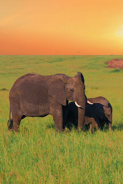 African elephants, Kenya - Elephants are herbivores and they can be found in numerous habitats, including savannas, forests, deserts and marshes, and prefer to stay near water. Elephants are considered to be keystone species due to the impact they have on their environments.