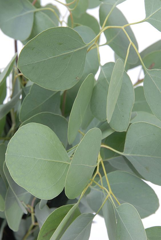 silver dollar eucalyptus is another filler flower for bouquets and is very versatile because it can be used in boutonnières.  Each leaf has a long stem which makes it easy for corsage use unlike regular eucalyptus where each leaf is attached to one thick central stem.  It has a milder aroma as well.: