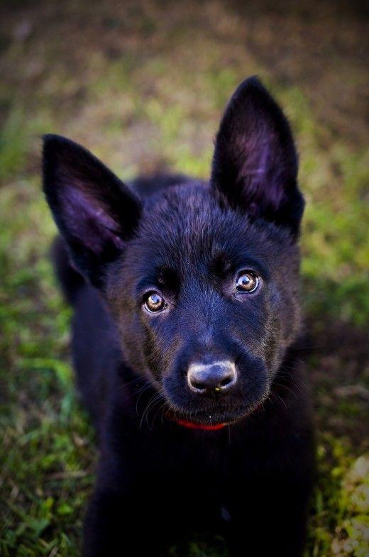 When Will My German Shepherd S Ears Stand Up Zvierata
