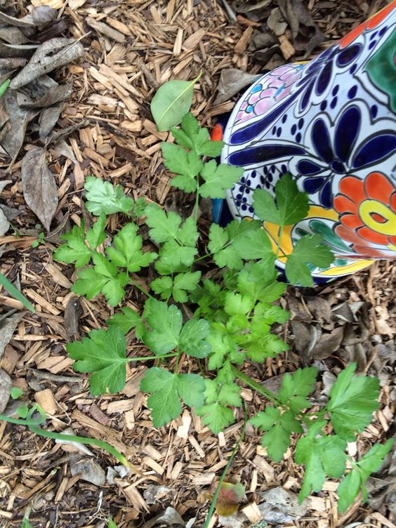 Another Italian parsley plant