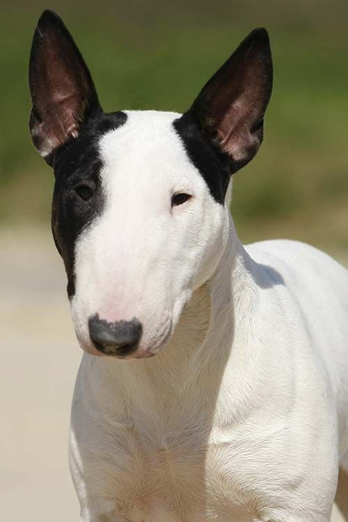Miniature Bull Terrier Dog Breed Information Bull Terrier Dog