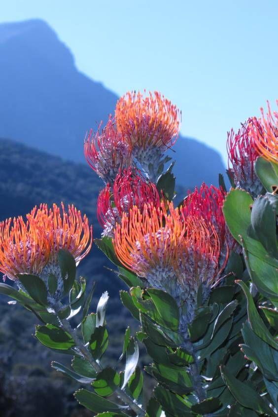 Protea Pink Duke Australian Native Plants Nursery Plants 800 701 6517 Australian Flowers Australian Native Plants Australian Native Flowers