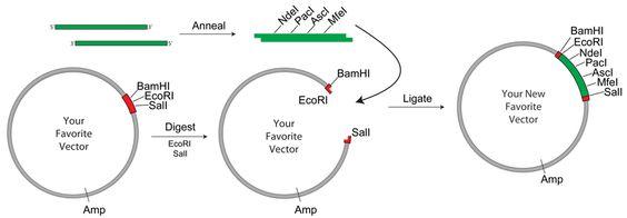 Addgene: Plasmid Modification by Annealed Oligo Cloning