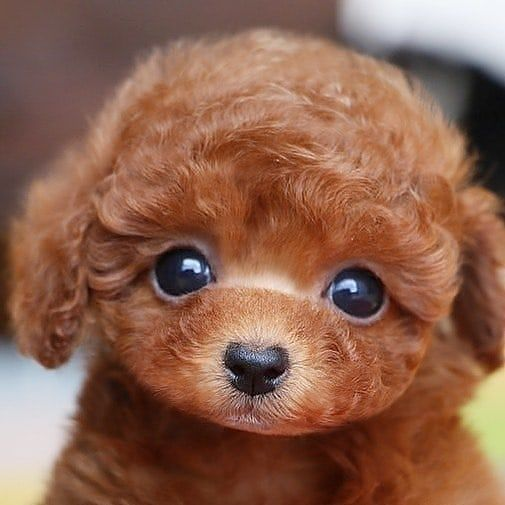 From Oceans Toypoodle Official Shop For Dog Lnstadogclub Bio Teddy Bear Poodle Cute Baby Animals Poodle Puppy
