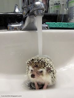 After reading the posts about this ADORABLE hedgehog, I must say, I WANT ONE! @Kelly Smith:
