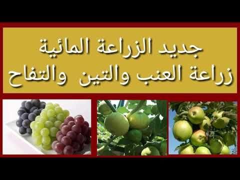 العنب والتين والتفاح في الزراعة المائية Youtube Fruit Grapes Food