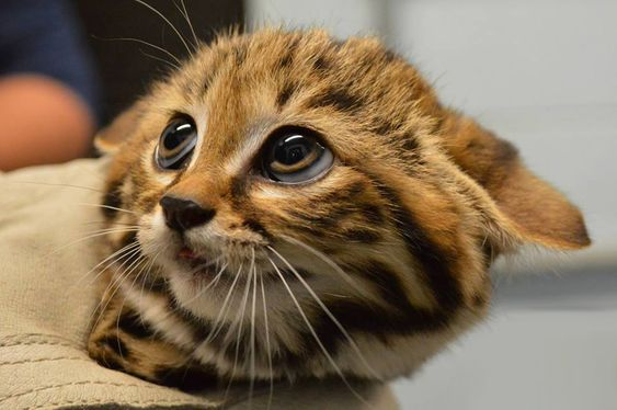 Adorable Black-Footed Cat Kitten, Philadelphia Zoo Photography By: Philadelphia Zoo