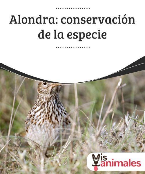 Alondra Conservacion De La Especie Alondra Aves