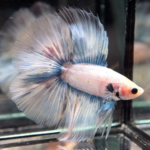 Pin By Marianne Sans On Beautiful Betta Fish Betta Fish Betta Fish